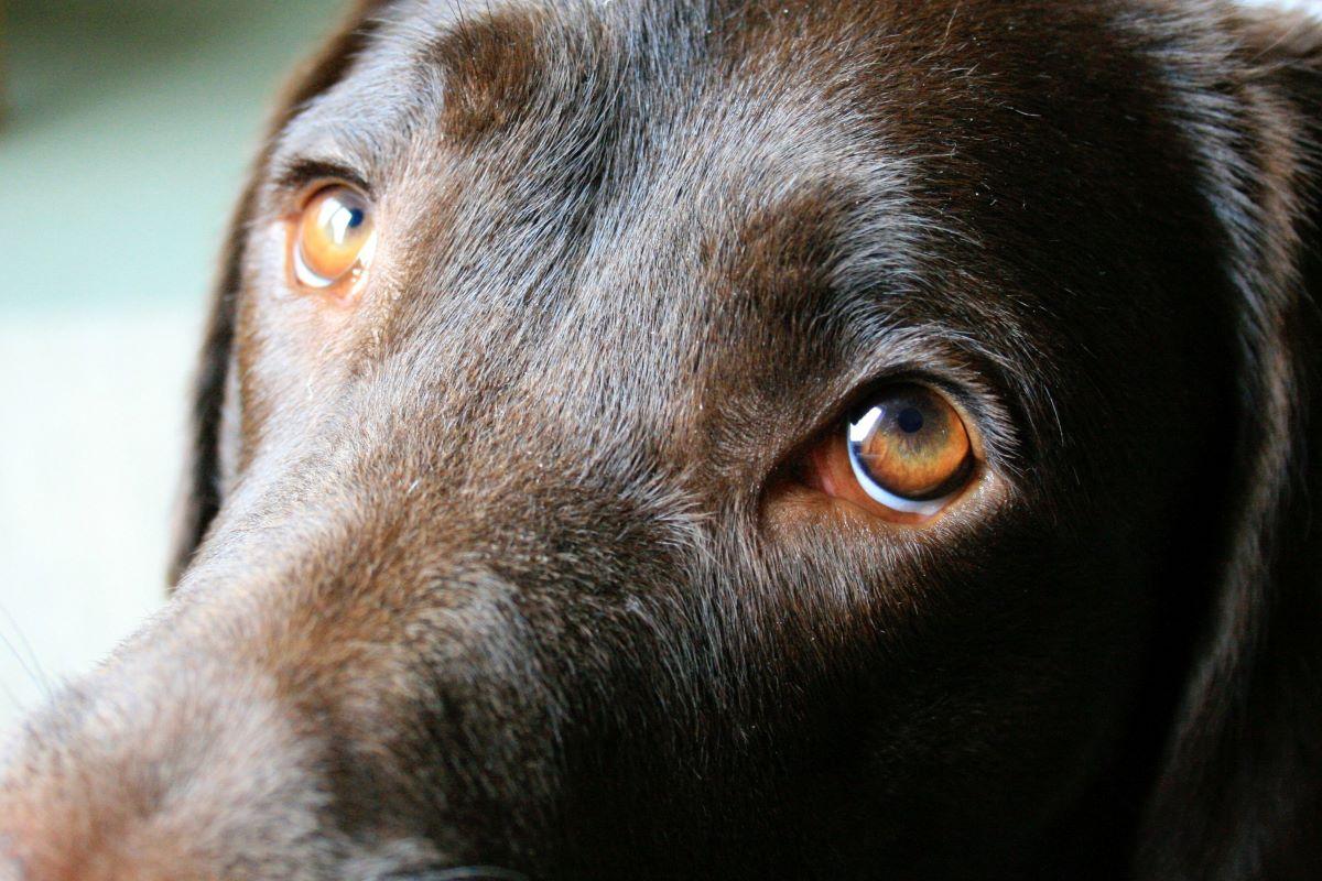 cucciolo di cane pus negli occhi