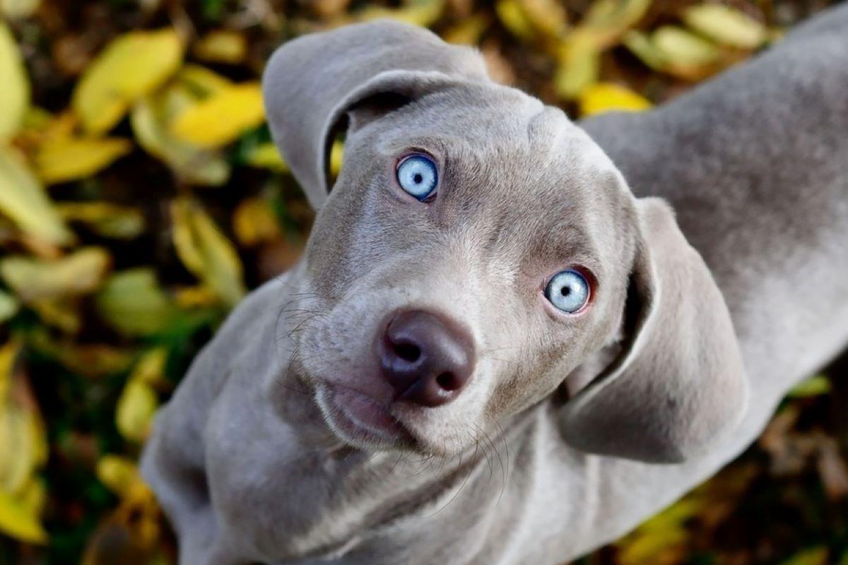 cagnolino occhio azzurro