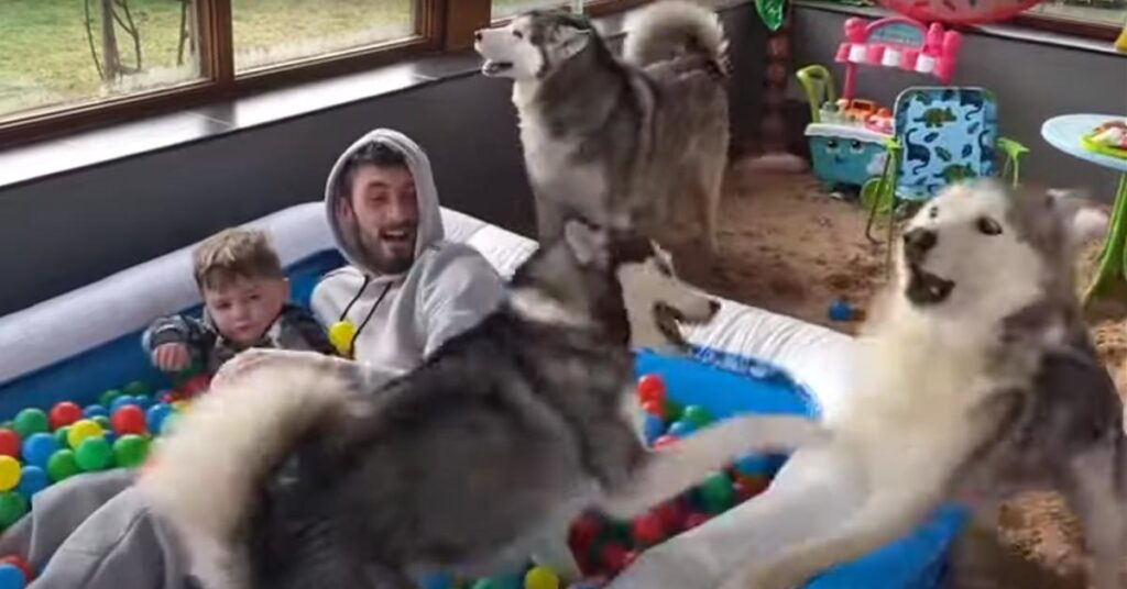 Husky che giocano