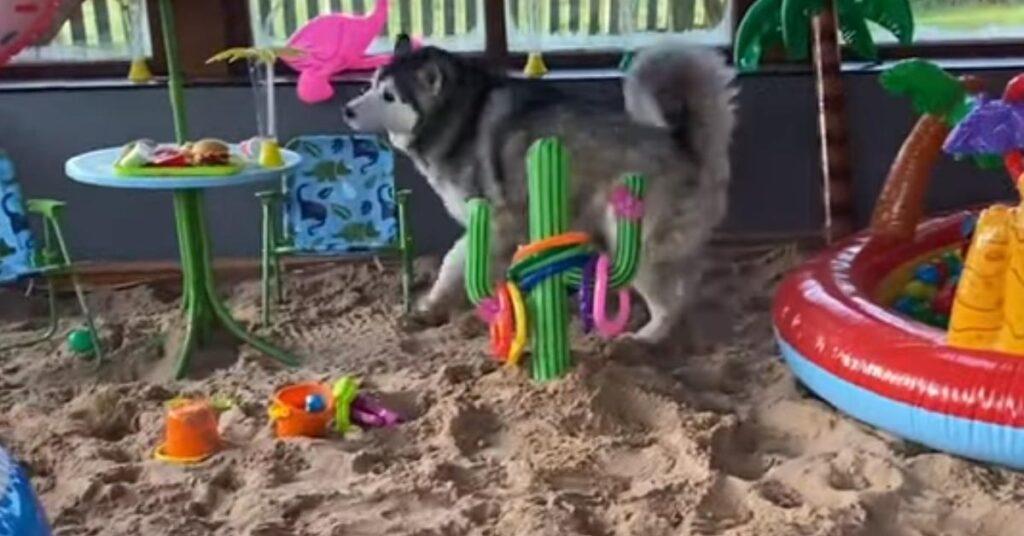 Husky che gioca