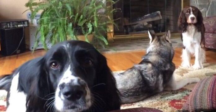 Husky Springer Spaniel video