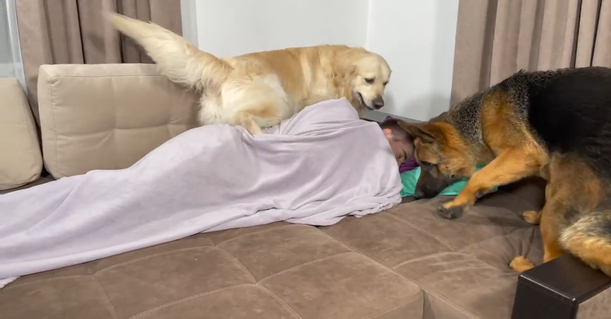 Un Golden Retriever e Pastore tedesco svegliano il padrone che finge di riposare (VIDEO)