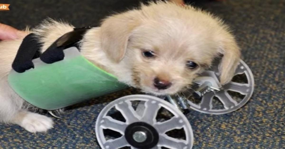 Grace cucciola con sedia a rotella