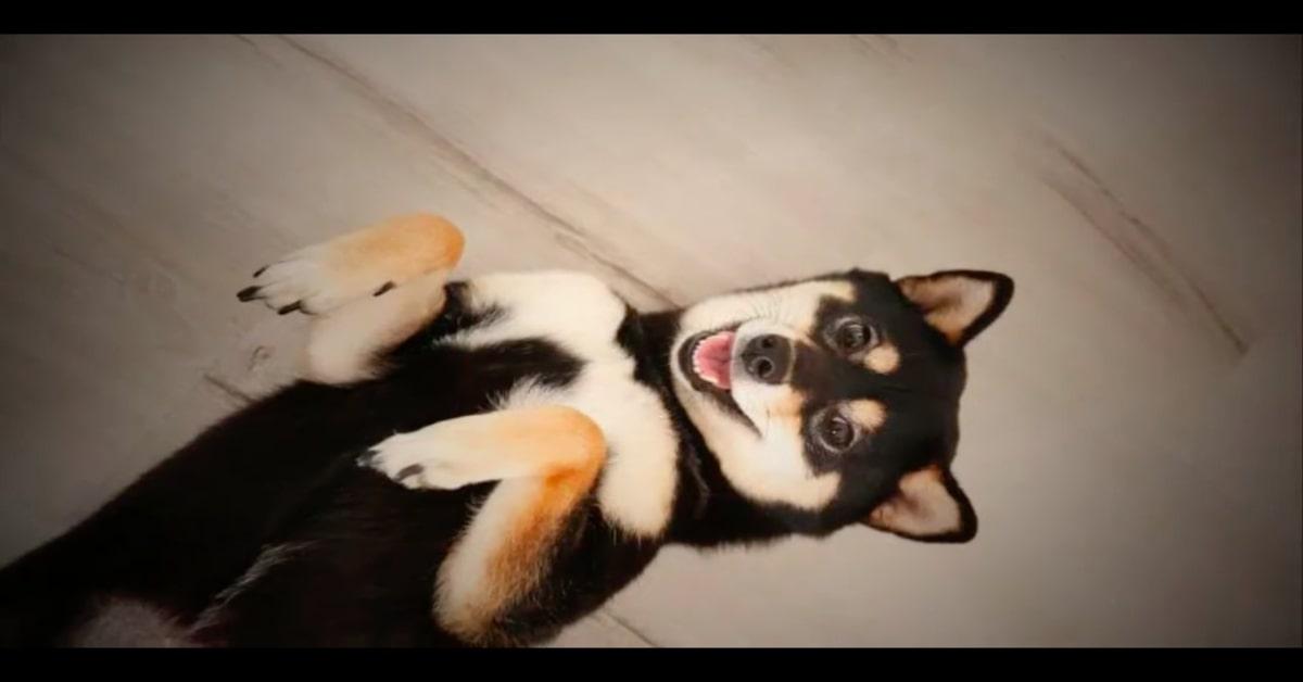 Hunter, il cucciolo di Shiba Inu pittore che conquista tutti con le sue opere d'arte (VIDEO)