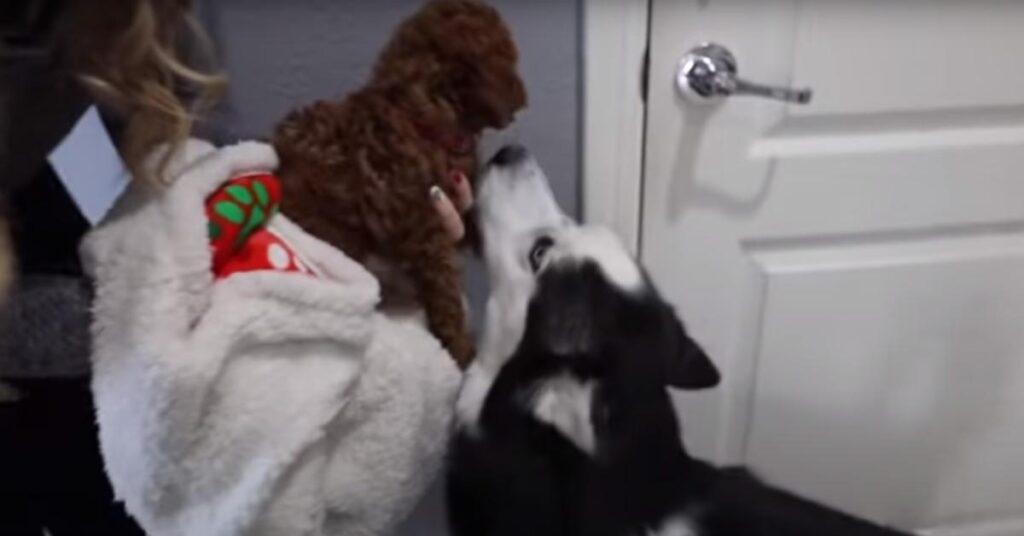 I due Husky vogliono assolutamente giocare con il loro nuovo amico, un cucciolo di Barboncino (video)