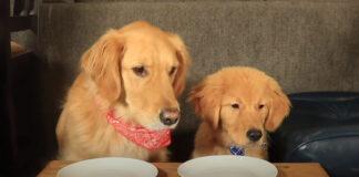Due Golden Retriever al test di assaggi