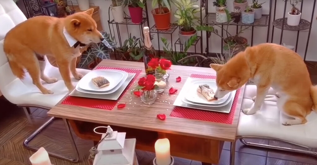 Shiba Inu a cena