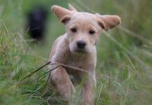 Cucciolo di Labrador che corre
