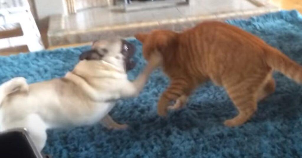 Carlino con un gatto
