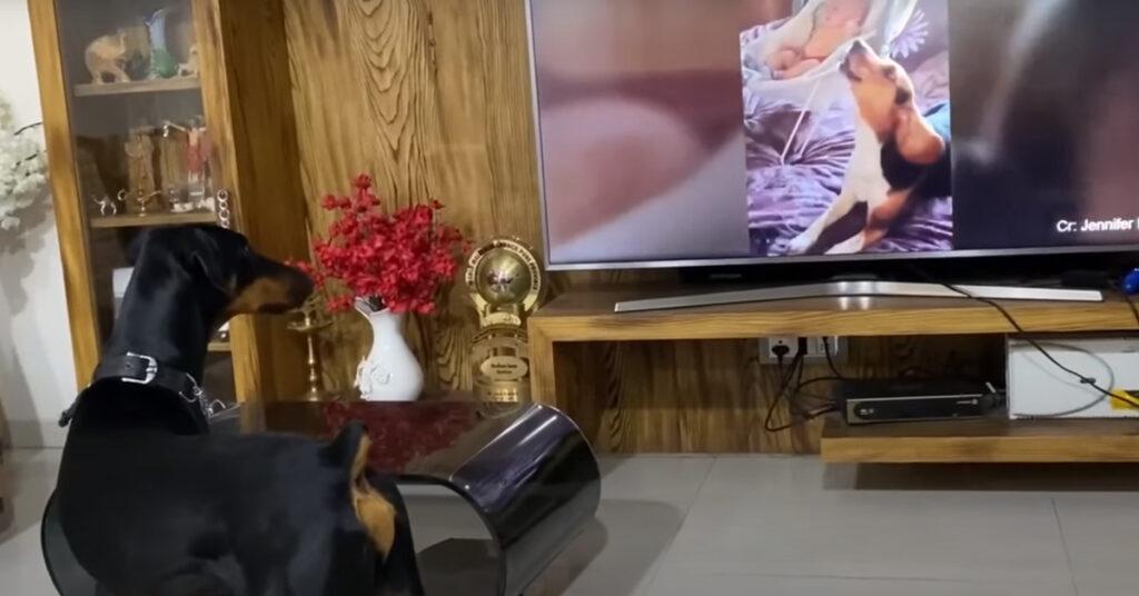 Cane che guarda la tv