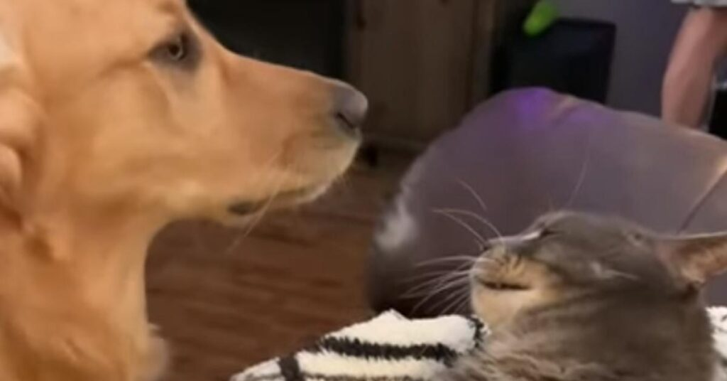 Il Golden Retriever Percy e il suo amico gattino lottano dolcemente (video)