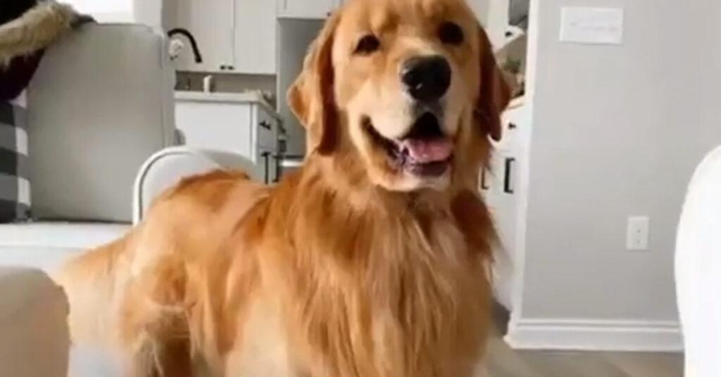 Il Golden Retriever Tucker è davvero molto felice delle sue nuove scarpette (video)
