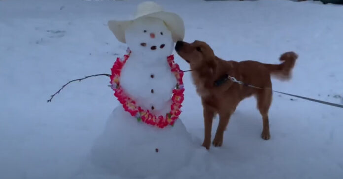 Golden Retriever con un pupazzo di neve