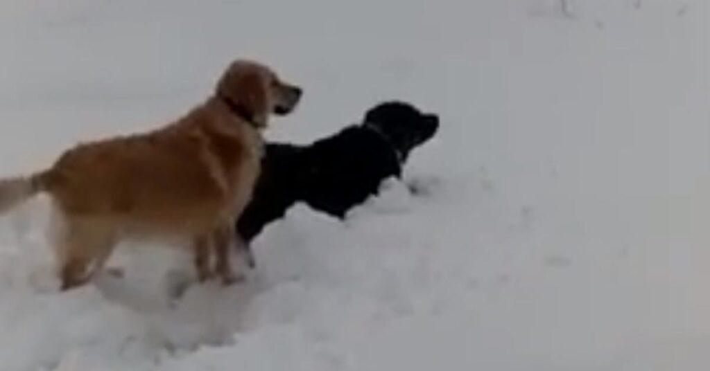 Golden Retriever e Rottweiler giocano nella neve