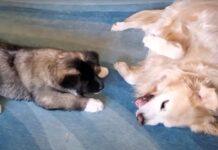 Golden Retriever che gioca con un cucciolo di Akita