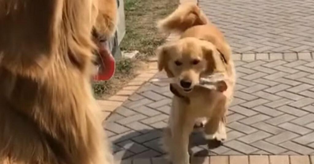 Il Golden Retriever è innamorato della sua fidanzata e le regala dei fiori (video)