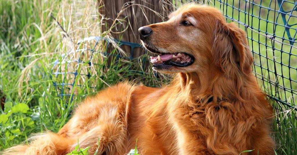 Golden Retriever che osserva