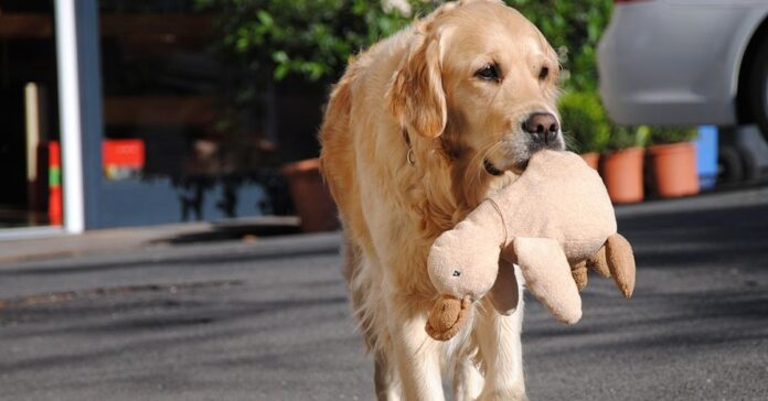 Golden Retriever con un peluche in bocca