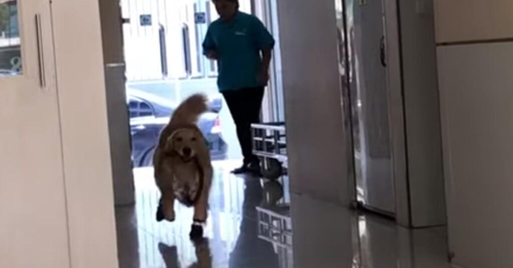 Il Golden Retriever scambia lo studio del veterinario per un parco giochi (video)