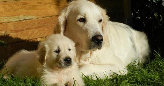 Golden Retriever con un cucciolo