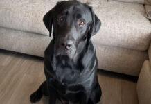 Labrador che osserva