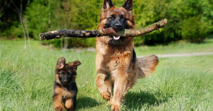 Pastore Tedesco che corre con un cucciolo