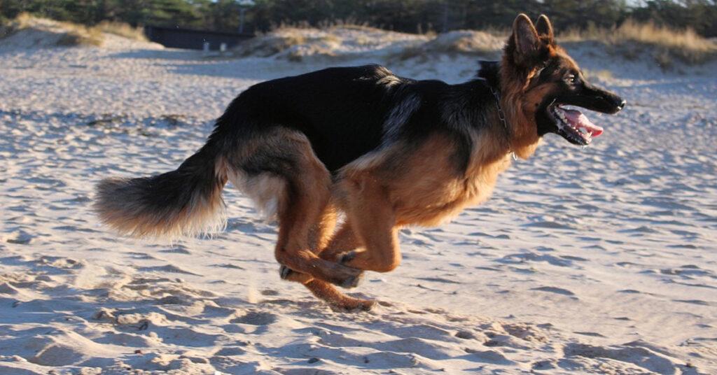 Il Pastore Tedesco adulto sopporta pazientemente i dispetti del cucciolo (video)