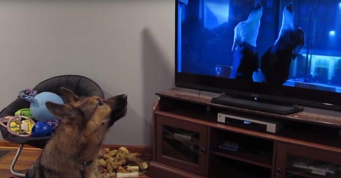 Pastore Tedesco guarda la tv