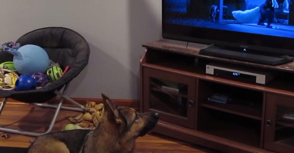 Il Pastore Tedesco risponde agli ululati dei lupi protagonisti di un cartone animato (video)