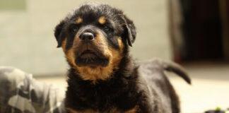 cucciolo di Rottweiler osserva