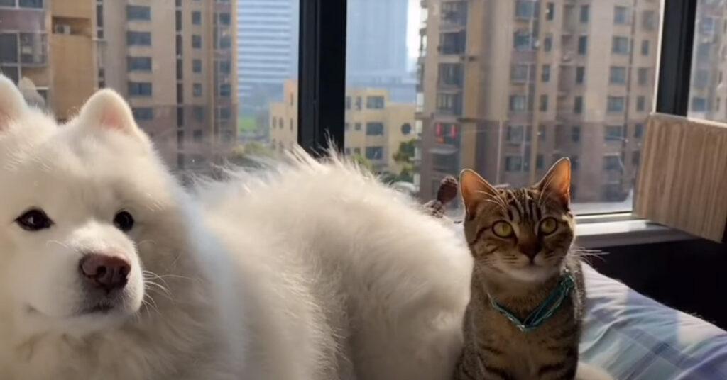 Samoiedo con un gatto