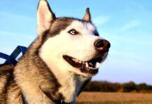 Siberian Husky che osserva