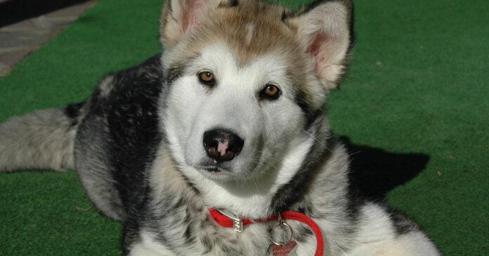 Cucciolo di Alaskan Malamute che osserva