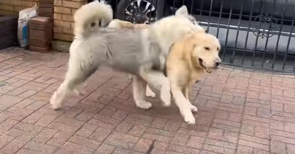 Il cucciolo di Alaskan Malamute è entusiasta di giocare con il suo nuovo amico, un Golden Retriever (video)