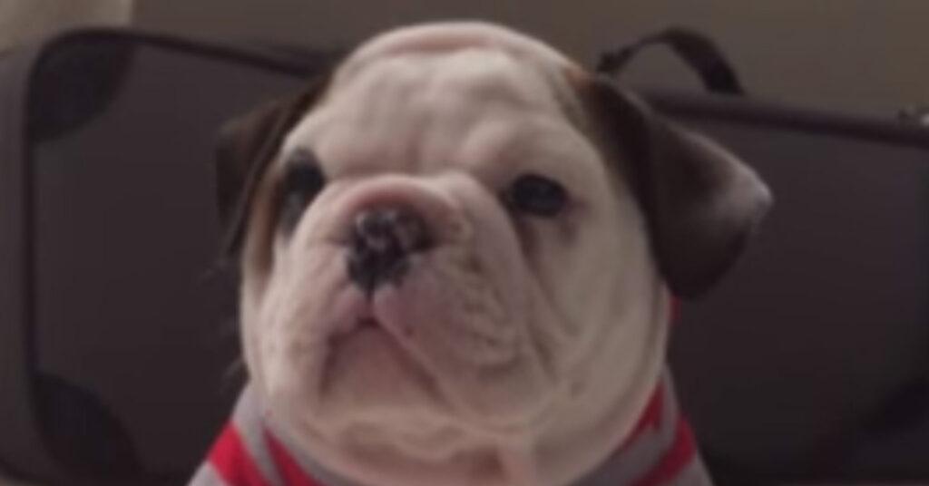 Cucciolo di Bulldog inglese che osserva