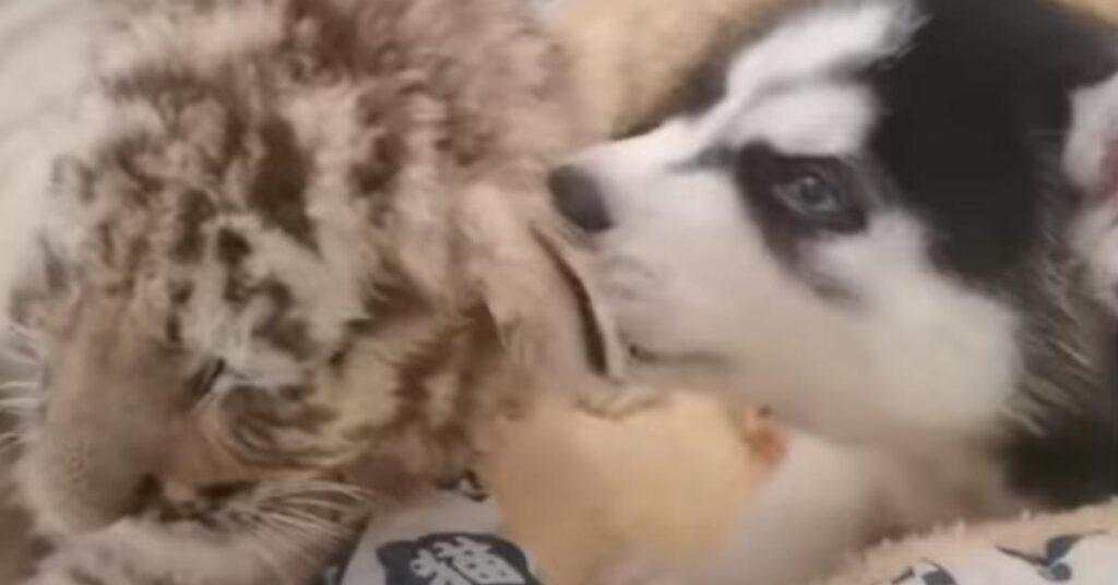 Il cucciolo di Husky incontra dei piccoli tigrotti e nasce una dolce amicizia (video)