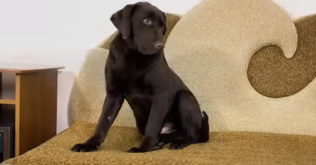Cucciolo di Labrador che osserva