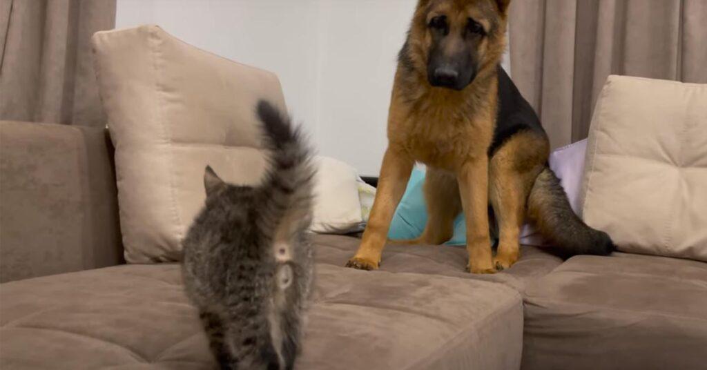 Pastore Tedesco con un gattino