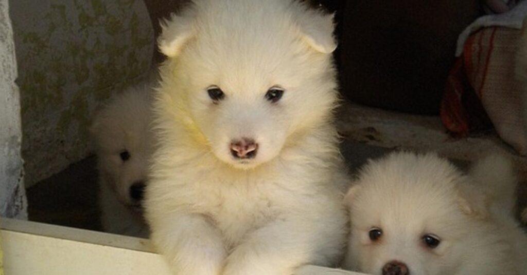 Cuccioli di Samoiedo che osservano