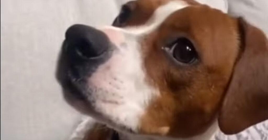 """Il cucciolo di cane si emoziona guardando """"Io e Marley"""" alla tv (video)"""