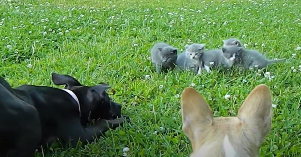 Cani che giocano con dei gatti