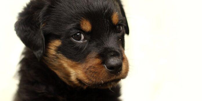 cucciolo di Rottweiler nella sua nuova casa