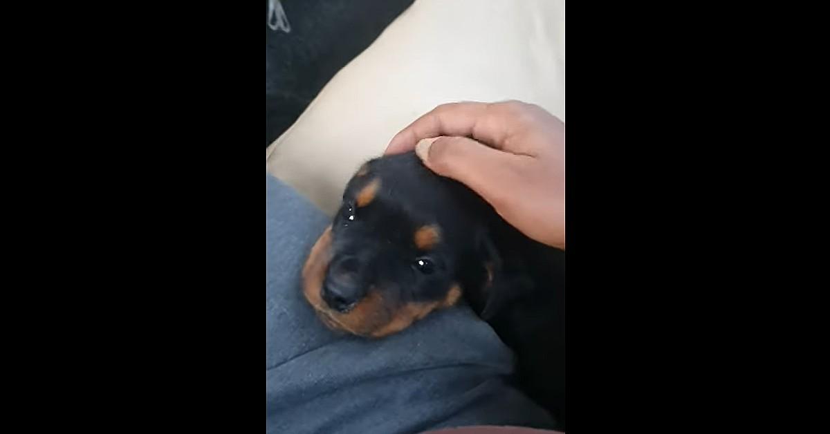 Il primo giorno del cucciolo di Rottweiler nella sua nuova casa (VIDEO)