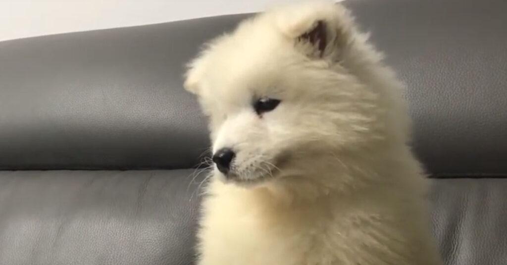 Il tenero cucciolo di Samoiedo impara ad ululare e il risultato è dolcissimo (video)