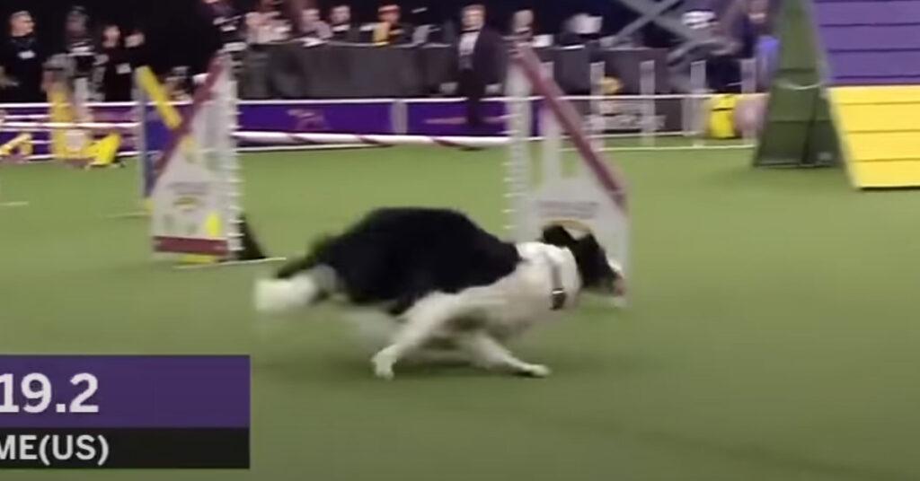Cane fa agility