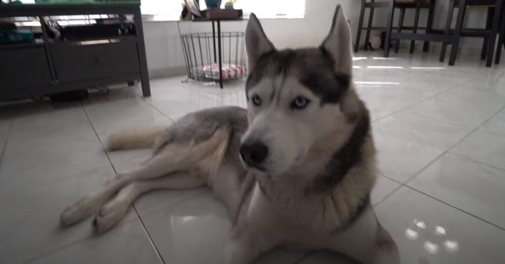 L'Husky non riesce a dare la zampa al padrone perché lui prova ad ingannarlo (video)