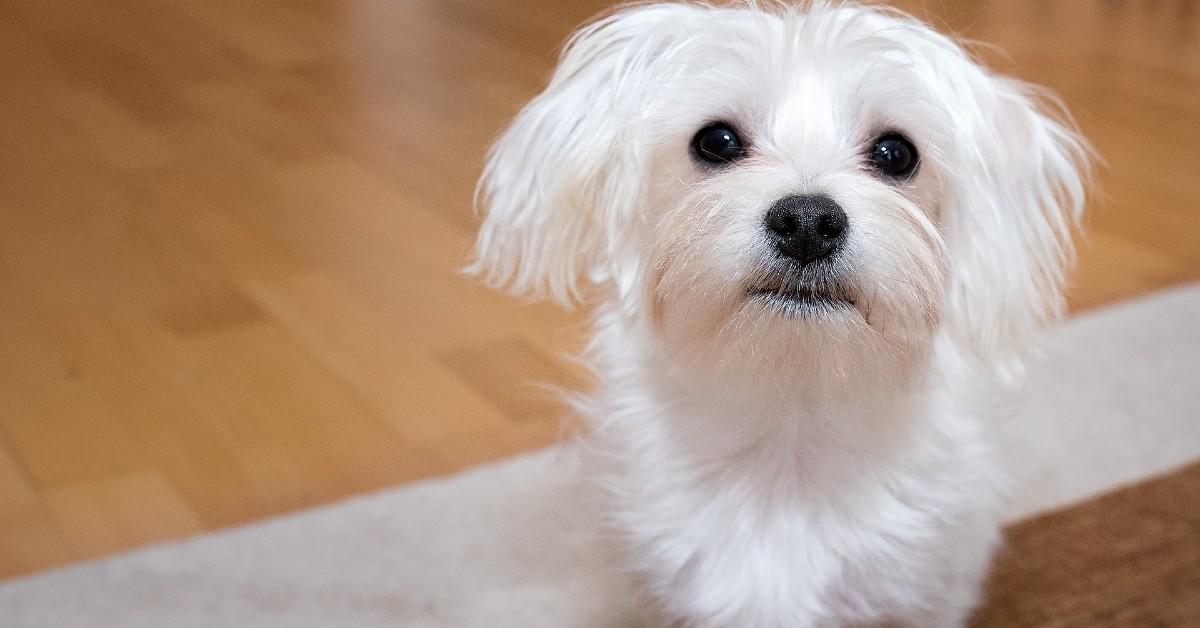 cucciolo di Maltese di fronte alla sua ciotola