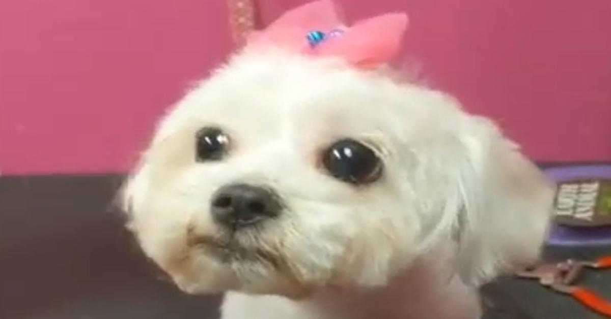Layla cucciola Maltese video