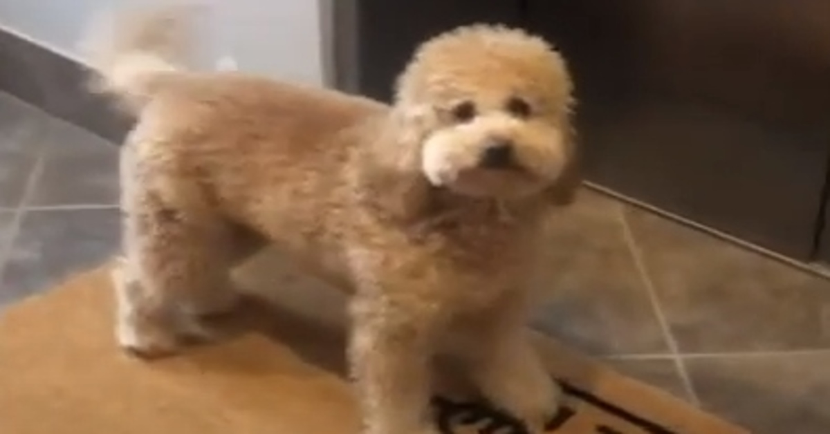 Milly goldendoodle video
