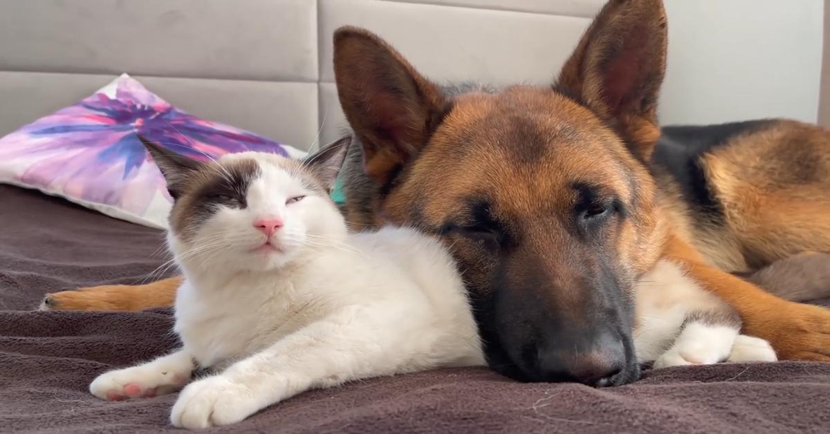 Un Pastore tedesco usa un gattino come cuscino e insieme si riposano (VIDEO)
